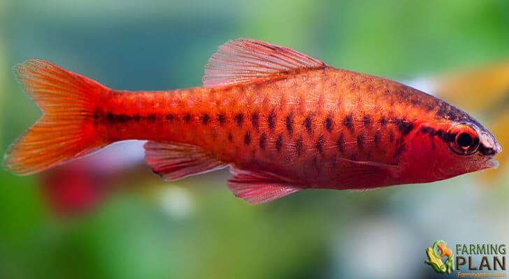 Cherry Barbel Fish