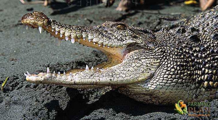 Crocodile farming business