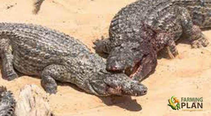 Crocodile Farming in Kenya