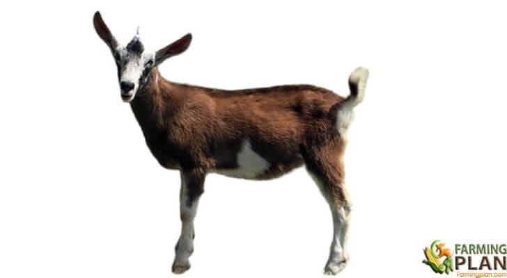 Sable Goat