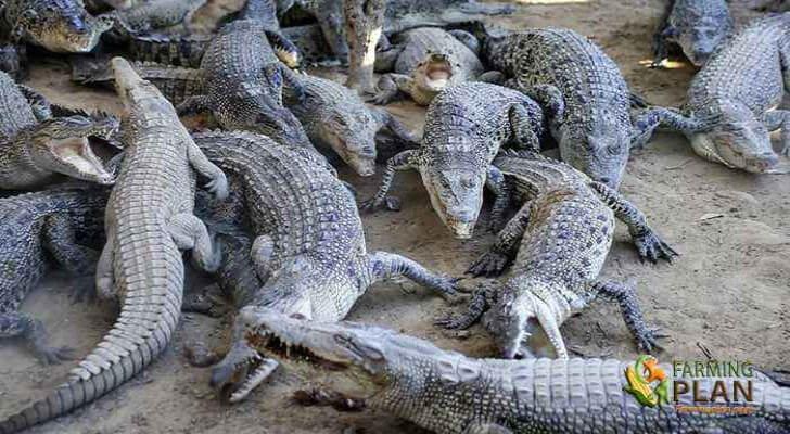 Crocodile Farming in Bangladesh