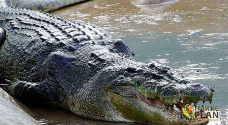 Crocodile Farming in Nigeria: