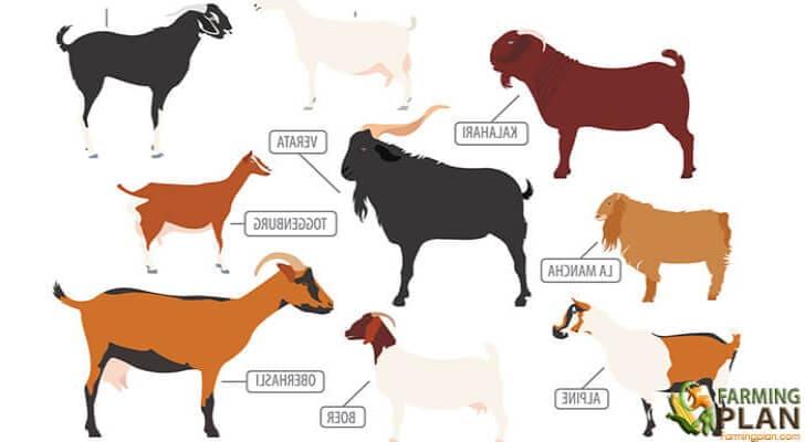 Dairy Goat Breeds